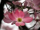 Pink Dogwood on Faded Background