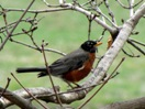 Robin on Early Spring Branch